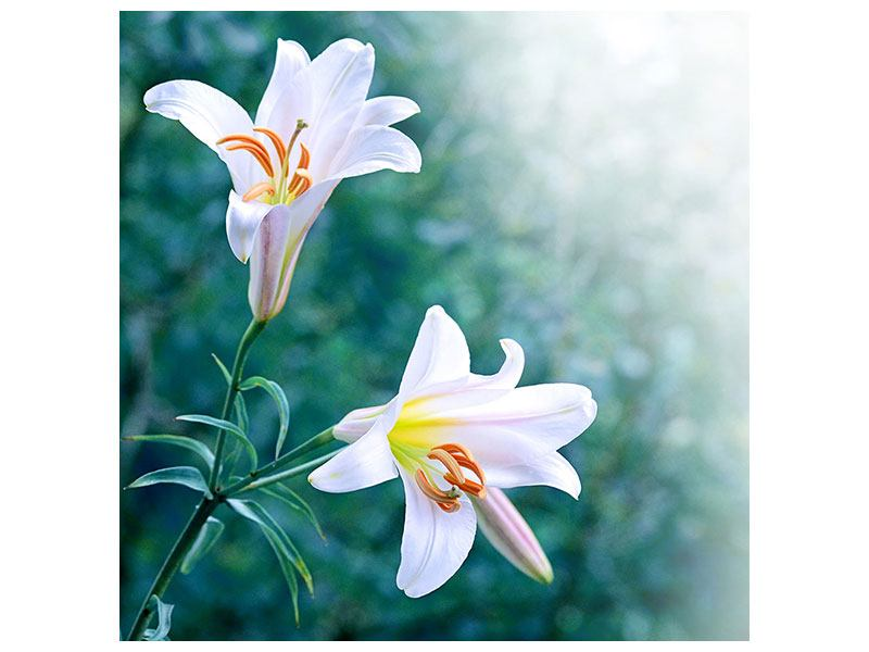Acrylglasbild Weisses Lilienduo