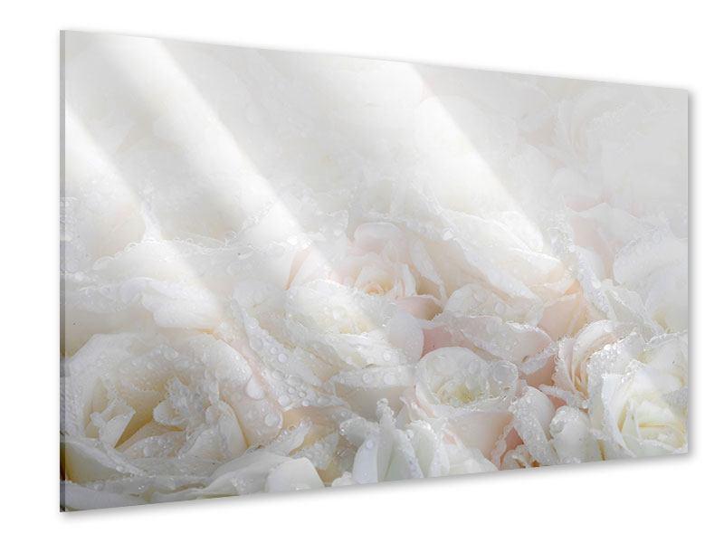Acrylglasbild Weisse Rosen im Morgentau