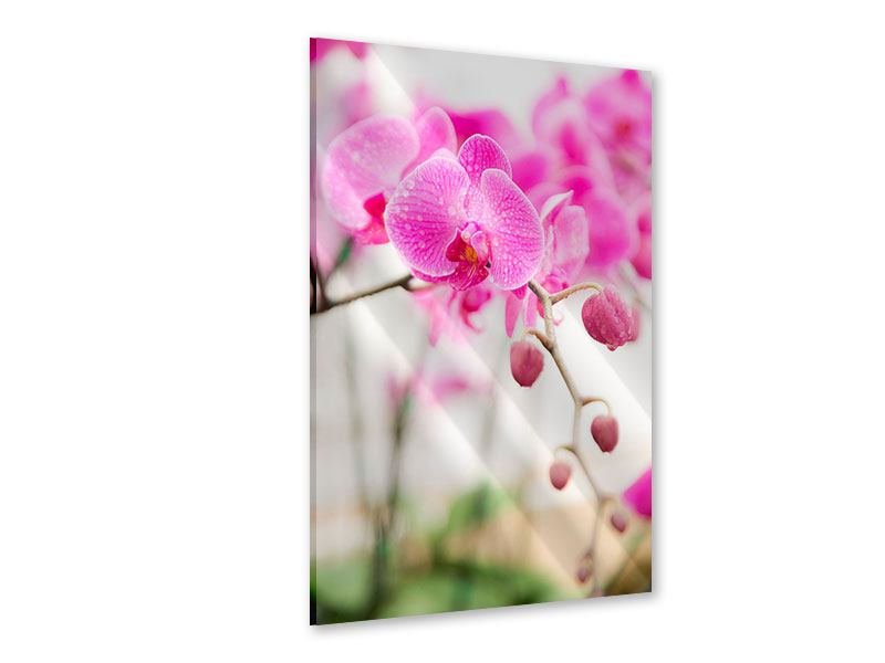 Acrylglasbild Gestreifte Orchideenblüten in Rosa