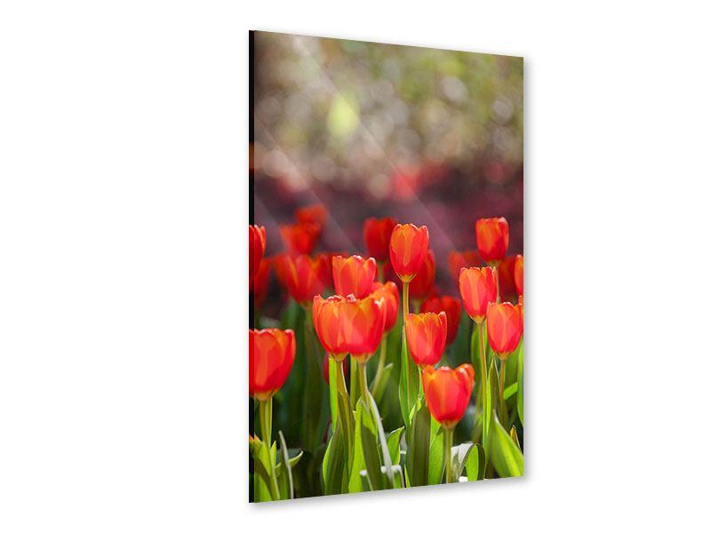 Acrylglasbild Das rote Tulpenbeet