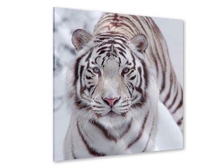 Acrylglasbild Der Königstiger