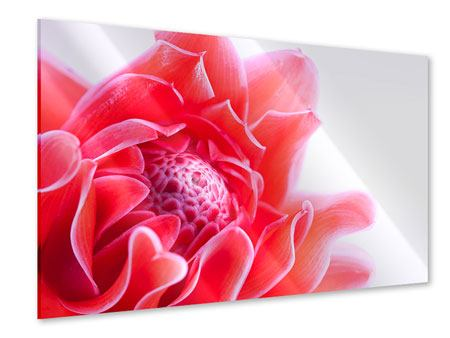 Acrylglasbild Etlingera XXL