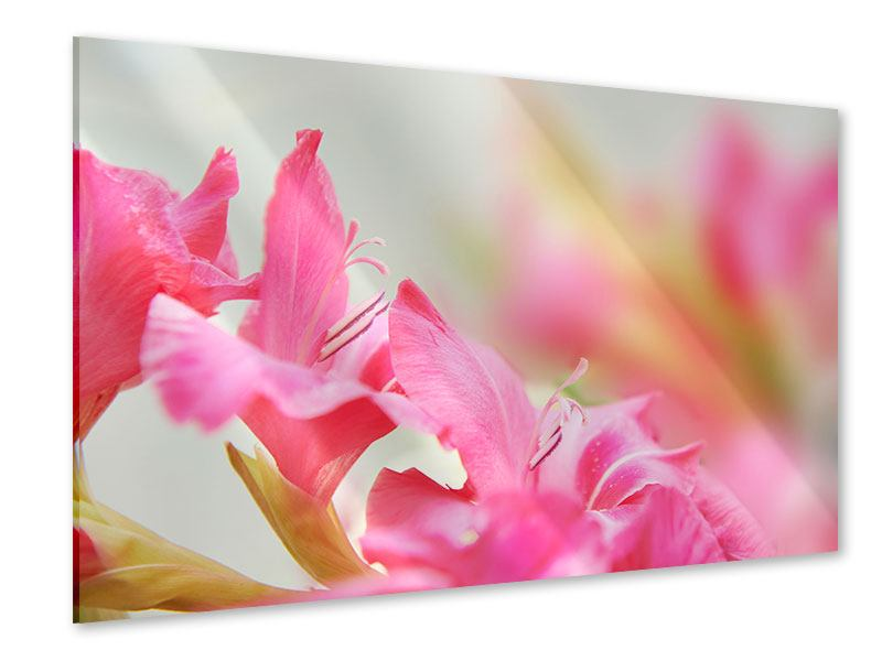 Acrylglasbild Gladiolen