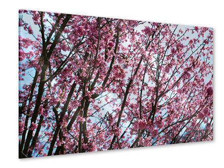 Acrylglasbild Japanische Blütenkirsche