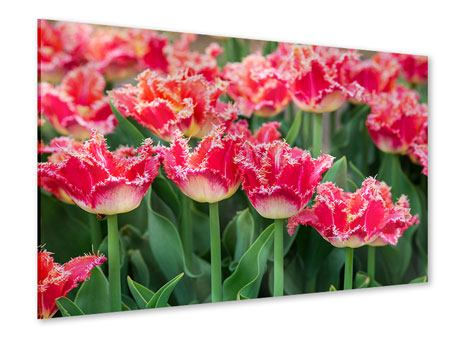 Acrylglasbild Die Tulpenwiese