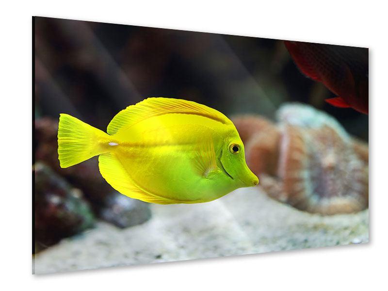 Acrylglasbild Segelflossendoktorfisch