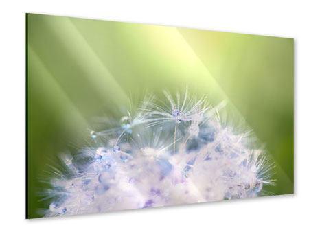 Acrylglasbild Pusteblume XL im Morgentau