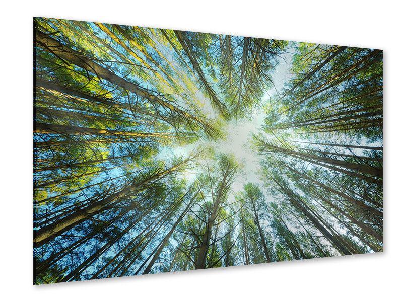 Acrylglasbild Kiefernwald