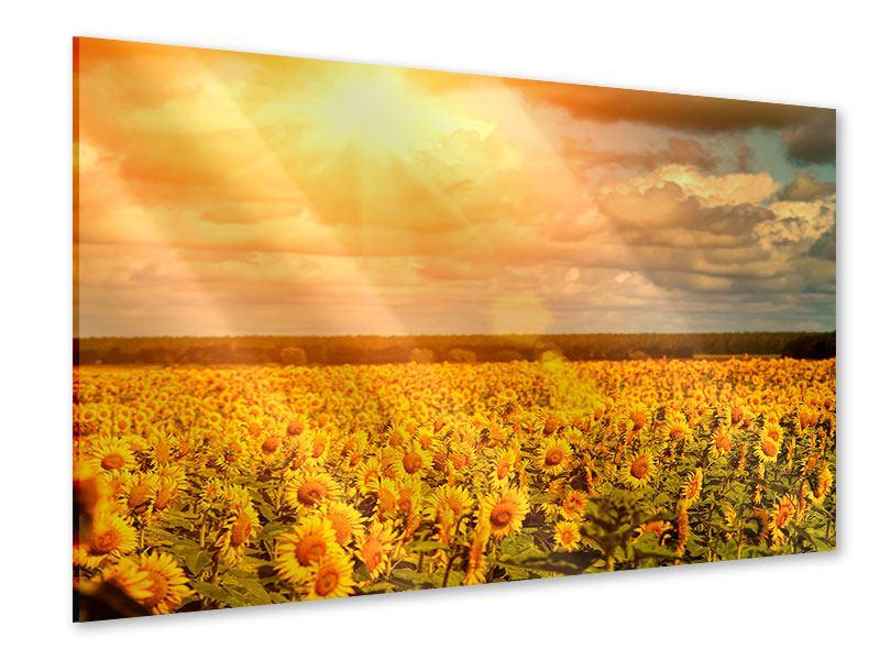 Acrylglasbild Goldenes Licht für Sonnenblumen