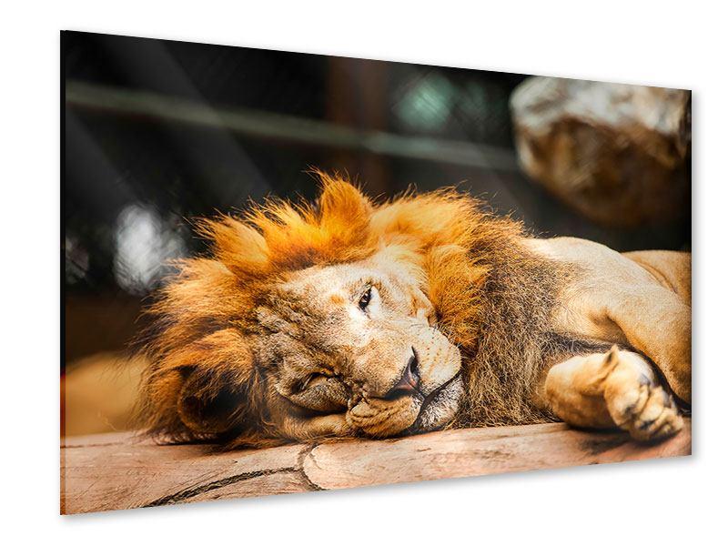 Acrylglasbild Entspannter Löwe