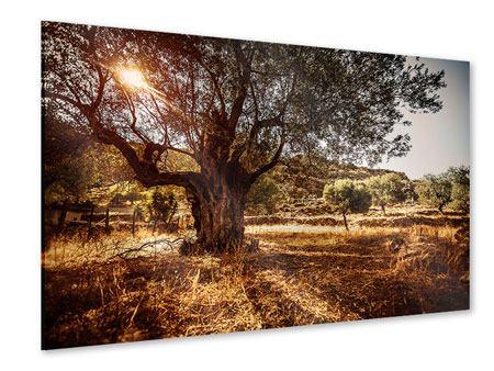 Acrylglasbild Olivenhain
