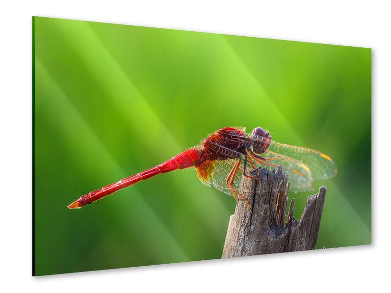Acrylglasbild Libelle XXL