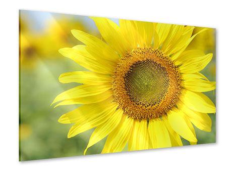 Acrylglasbild Die Blume der Sonne