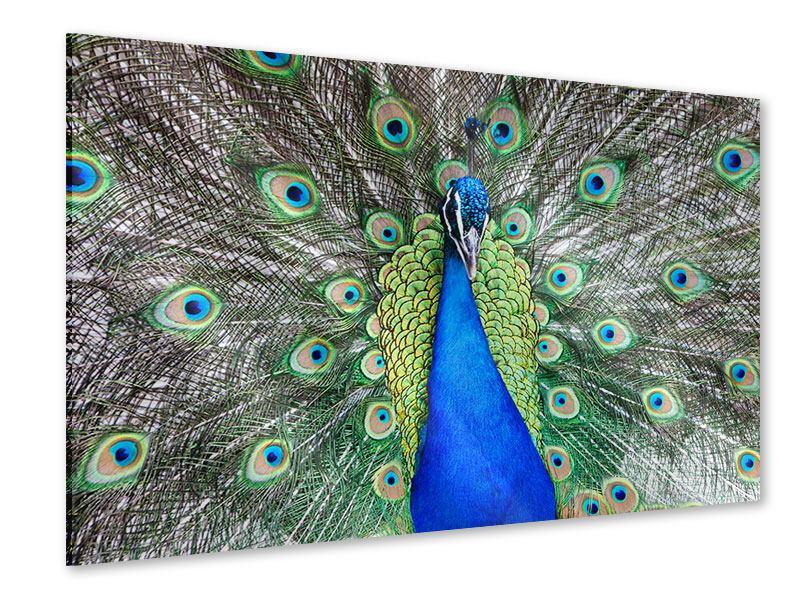 Acrylglasbild Blauer Pfau