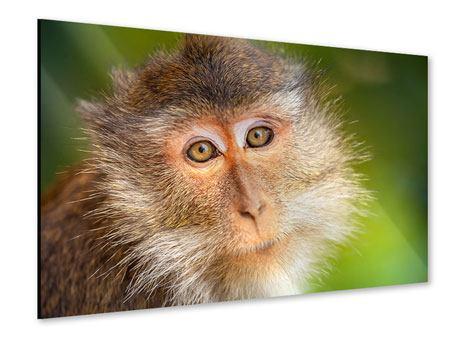 Acrylglasbild Der Makak