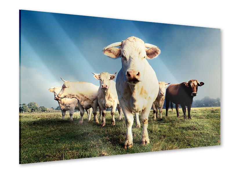 Acrylglasbild Kühe