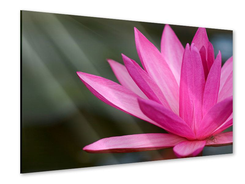 Acrylglasbild XXL Seerose in Pink