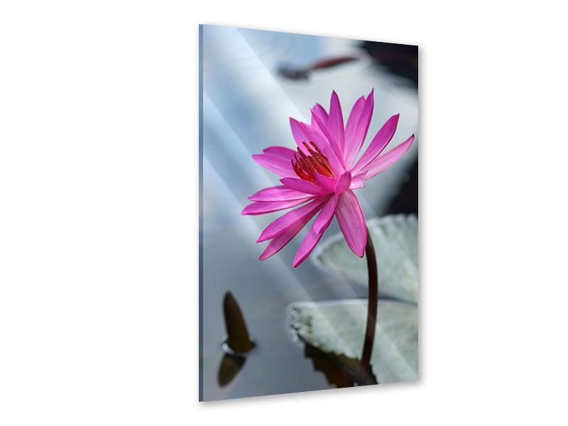Acrylglasbild Grosse Lotus in Pink