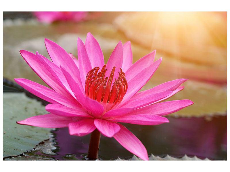 Acrylglasbild Sonnige Seerose