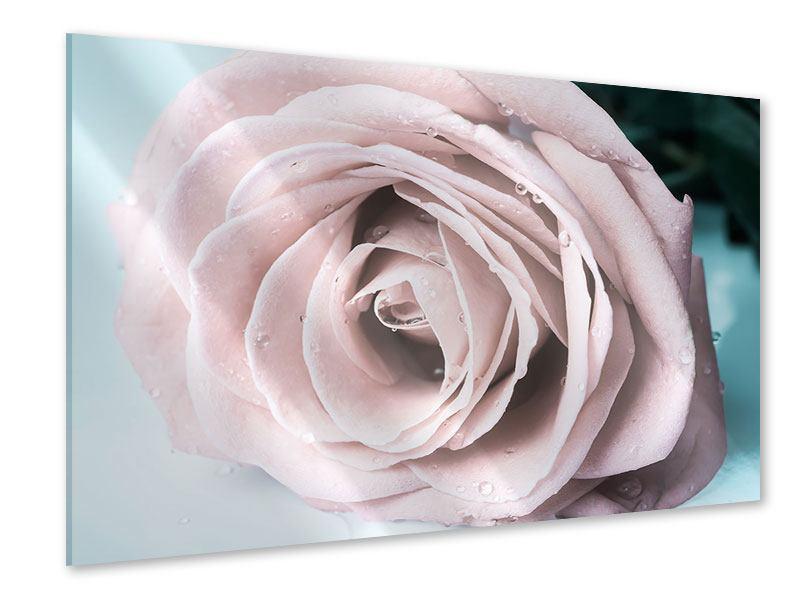 Acrylglasbild Pastellrose