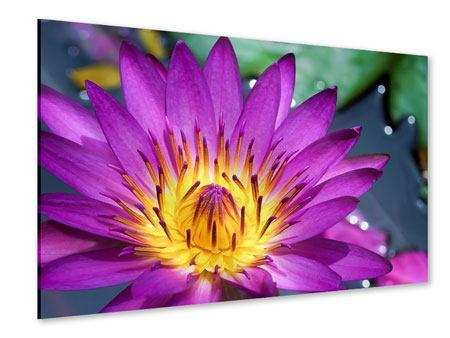 Acrylglasbild Makro Seerose in Lila