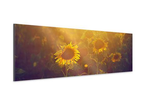 Aluminiumbild Panorama Sonnenblumen im goldenen Licht