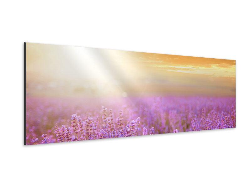 Aluminiumbild Panorama Sonnenuntergang beim Lavendelfeld