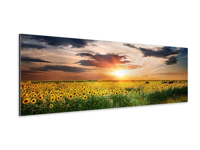 Aluminiumbild Panorama Ein Feld von Sonnenblumen