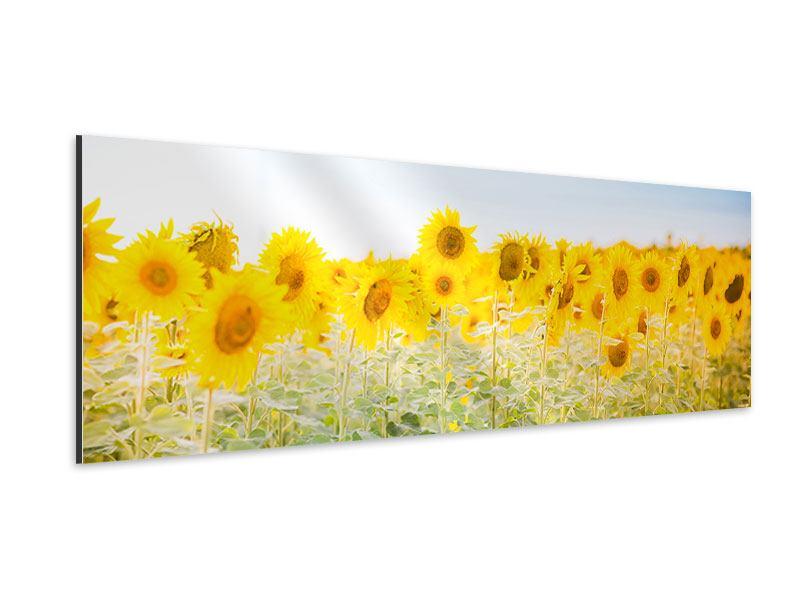 Aluminiumbild Panorama Im Sonnenblumenfeld