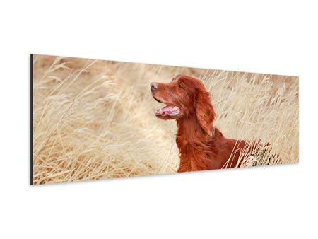 Aluminiumbild Panorama Irish Red Setter