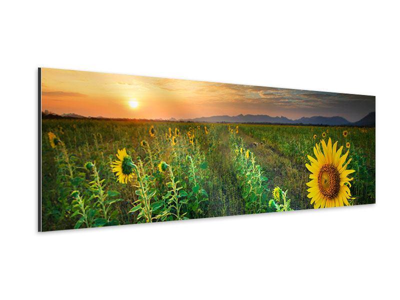 Aluminiumbild Panorama Sonnenblumenfeld im Abendrot