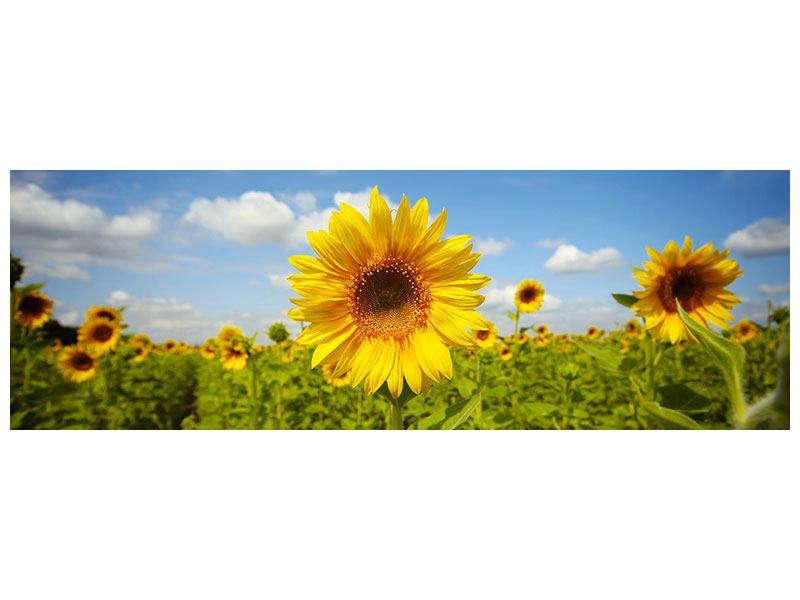 Aluminiumbild Panorama Sommer-Sonnenblumen