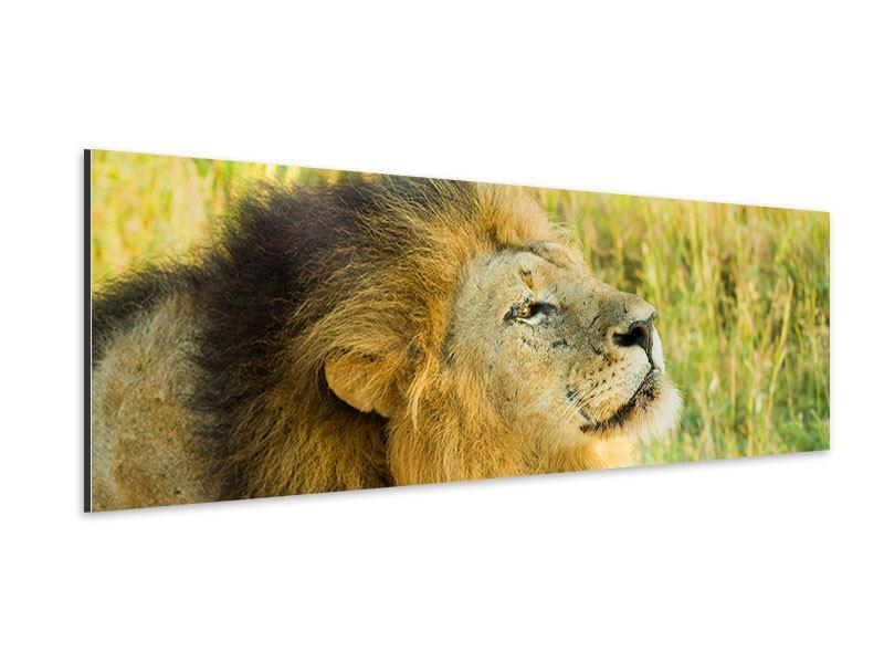 Aluminiumbild Panorama Der König der Tiere