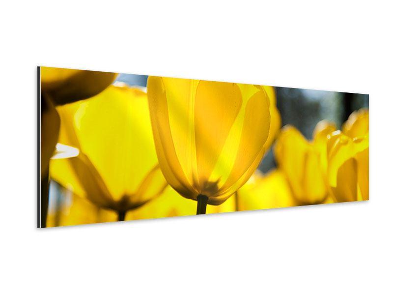 Aluminiumbild Panorama Gelbe Tulpen in XXL