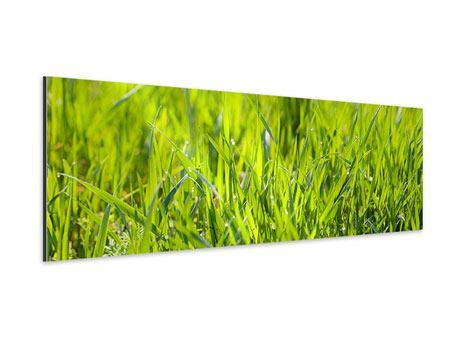 Aluminiumbild Panorama Gras im Morgentau