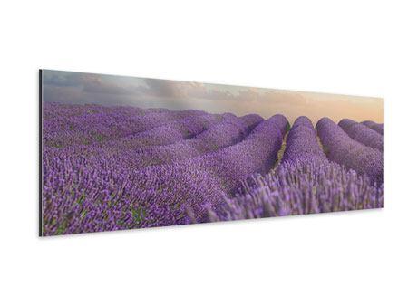 Aluminiumbild Panorama Das blühende Lavendelfeld