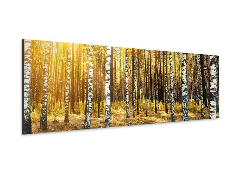 Aluminiumbild Panorama Birkenwald