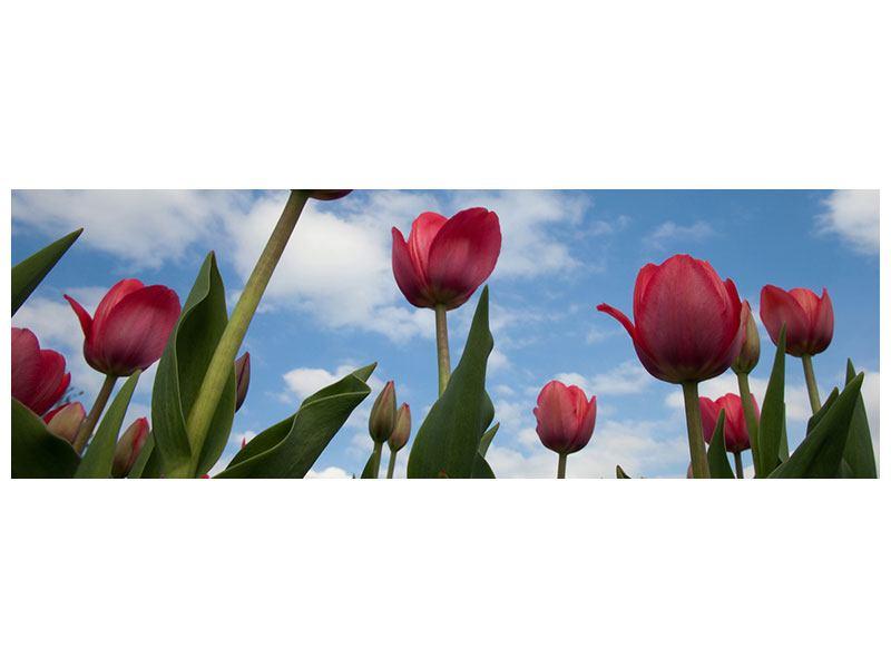 Aluminiumbild Panorama Tulpen im Himmel
