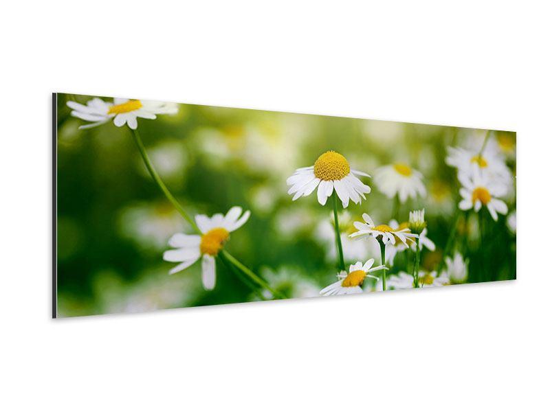 Aluminiumbild Panorama Die Gänseblümchen