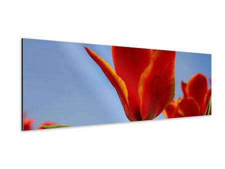 Aluminiumbild Panorama Rote Tulpen in XXL