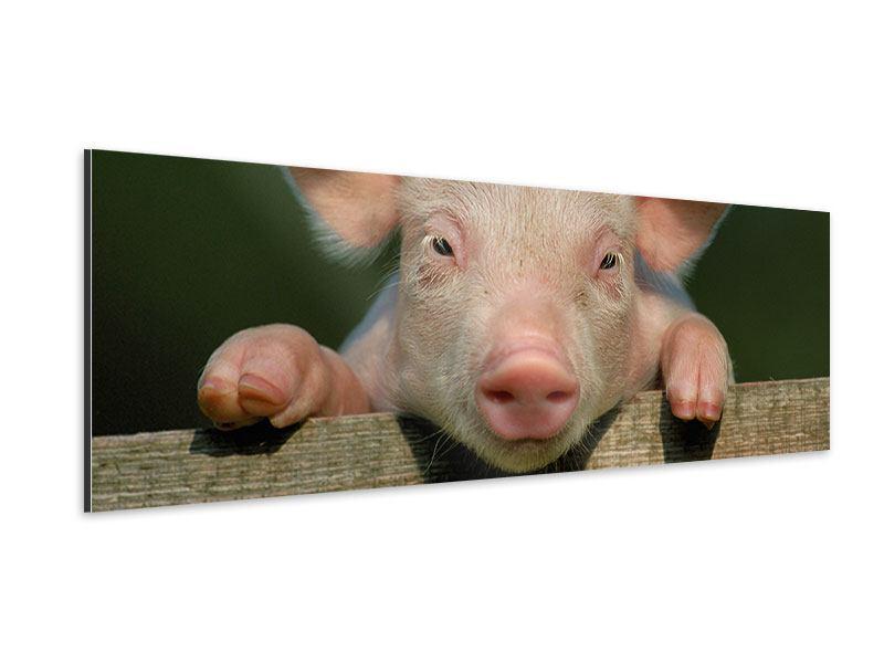 Aluminiumbild Panorama Schweinchen Namens Babe