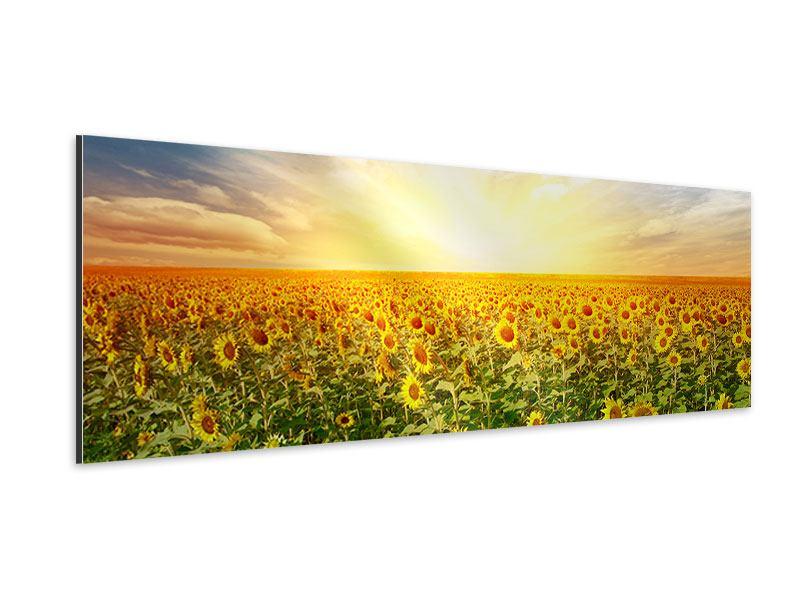 Aluminiumbild Panorama Ein Feld voller Sonnenblumen