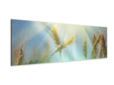 Aluminiumbild Panorama König des Getreides