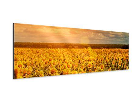 Aluminiumbild Panorama Goldenes Licht für Sonnenblumen