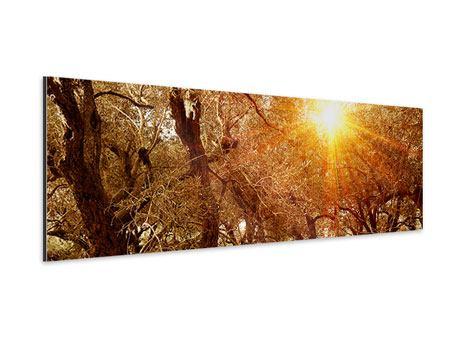 Aluminiumbild Panorama Olivenbäume im Herbstlicht