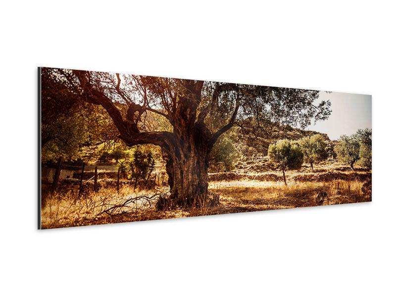 Aluminiumbild Panorama Olivenhain