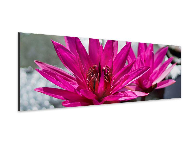 Aluminiumbild Panorama Seerosenduo in Pink