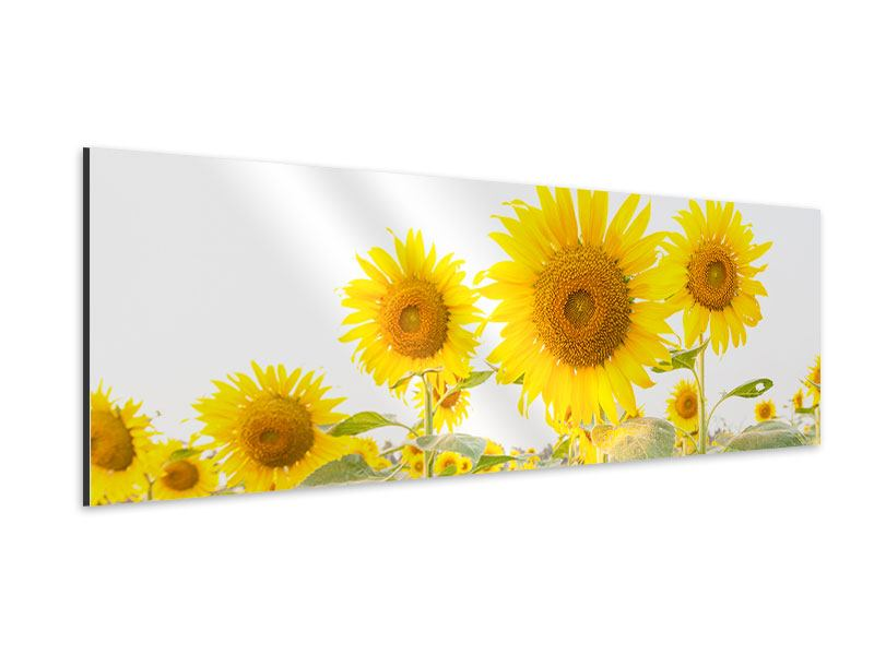 Aluminiumbild Panorama Das Sonnenblumenfeld