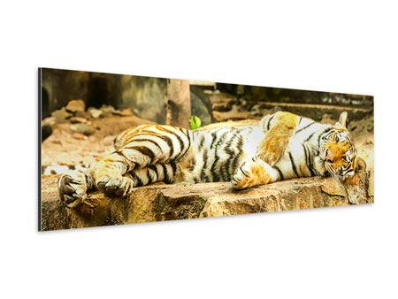 Aluminiumbild Panorama Der Sibirische Tiger