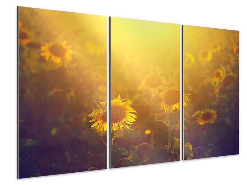 3 Piece Aluminium Print Sunflower In Golden Light